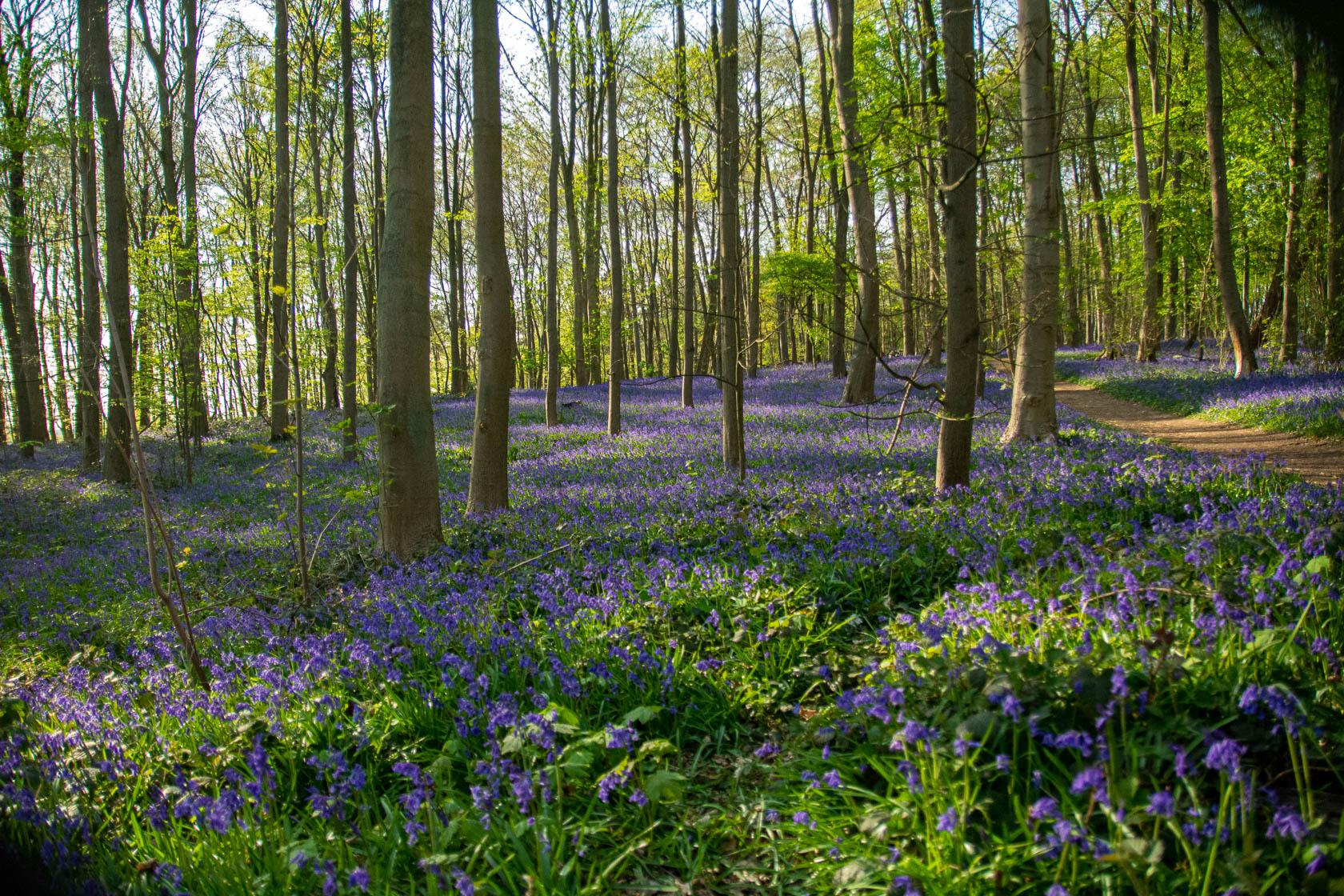 Die blauen Blumen – Hasenglöckchen